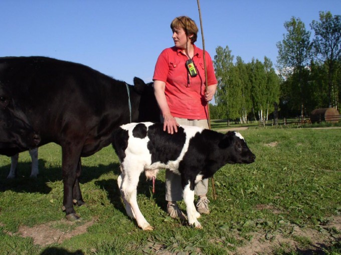 Latvian participant Zaiga Treimani found a new born calf in the field, during her day of GPS-recording.